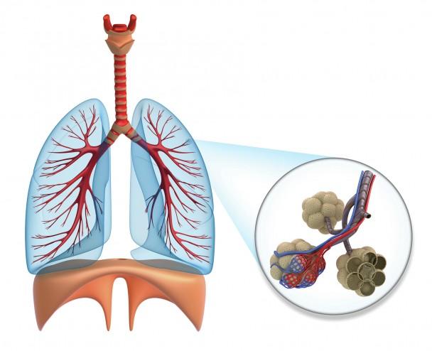 Alveoles poumons